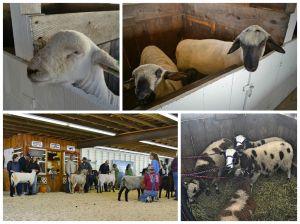SheepCollage